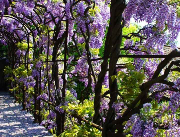 Wisteria Meaning Tribalmystic Stories Tribalmystic Is