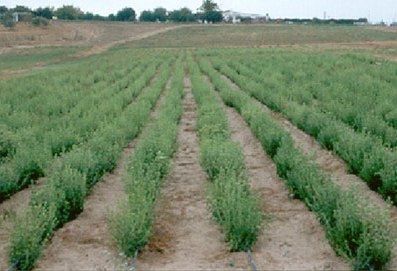La stevia e la canapa for Stevia pianta